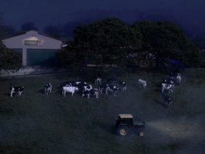 Vacas de Feiraco pastando